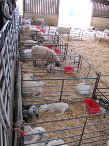 Lambing shed by day