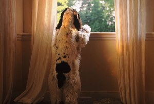 photolibrary_rm_photo_of_spaniel_looking_out_window